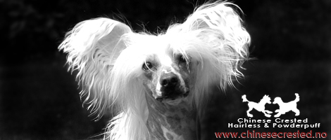 Chinese crested.no _ Chinese Crested Hairless, Powderpuff