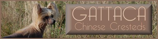 CHS Gattaca/chinese chrested dog