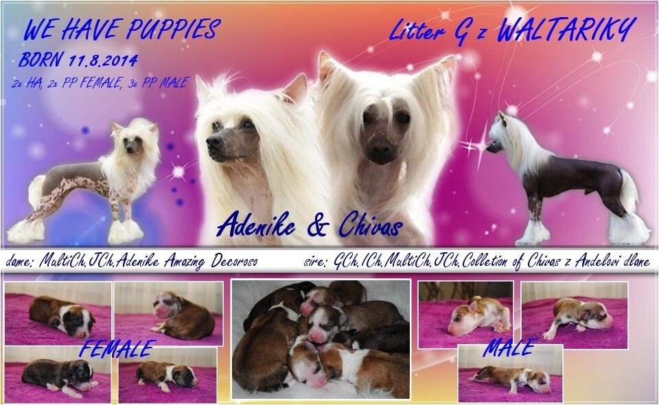 http://zwaltariky.websnadno.cz/new/ady__chivas_puppies_11.jpg